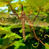 Newhaven Dragonfly