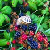 A Snail enjoys the Blackberries